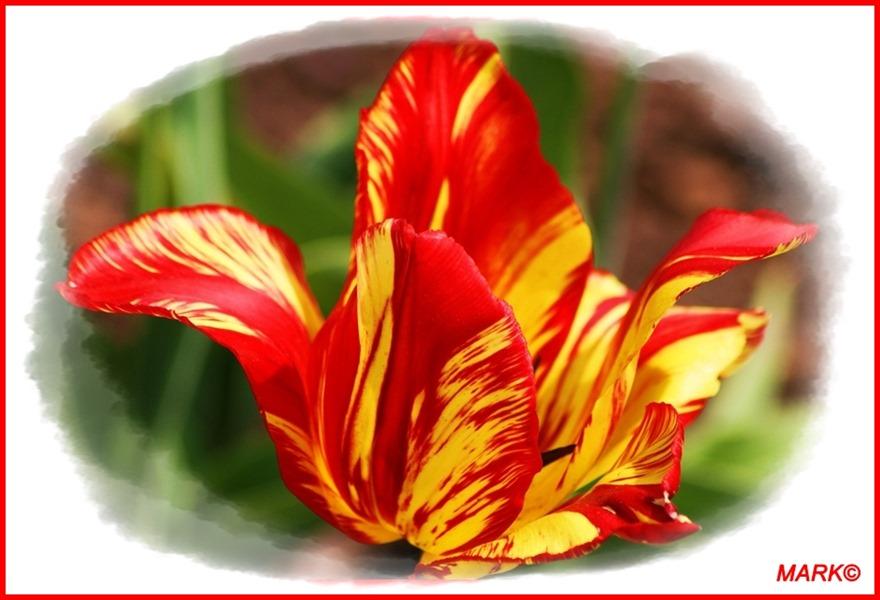 Tulipany - Blog  (1)