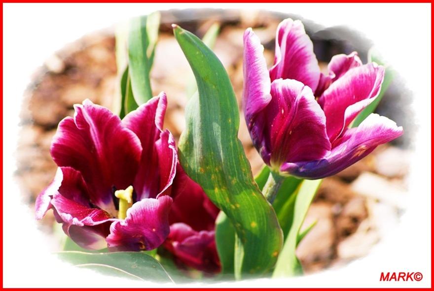 Tulipany - Blog  (2)
