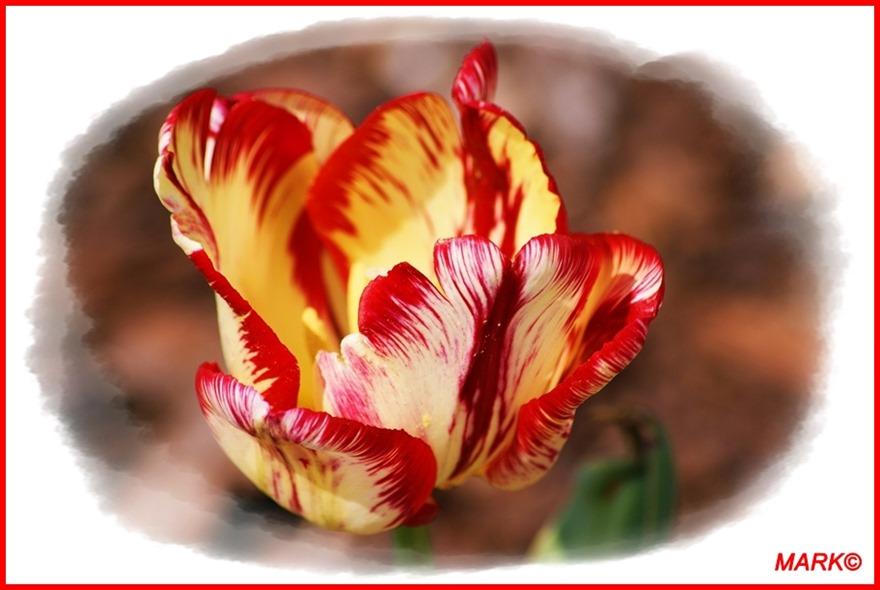 Tulipany - Blog  (3)