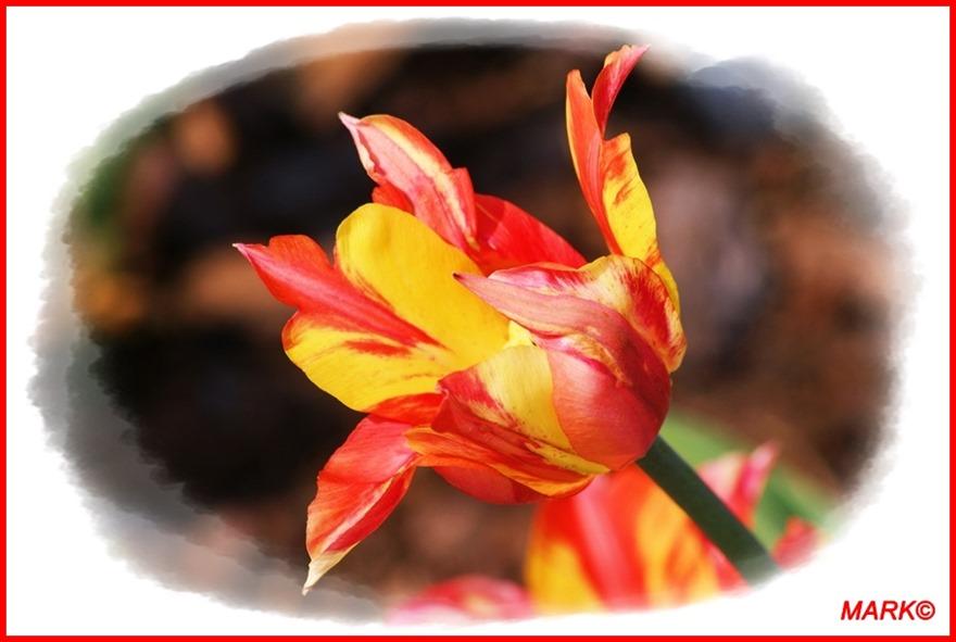Tulipany - Blog  (5)