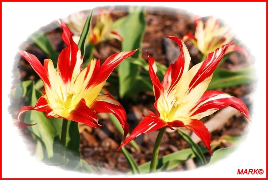 Tulipany - Blog  (6)