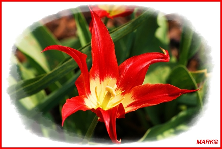 Tulipany - Blog  (7)