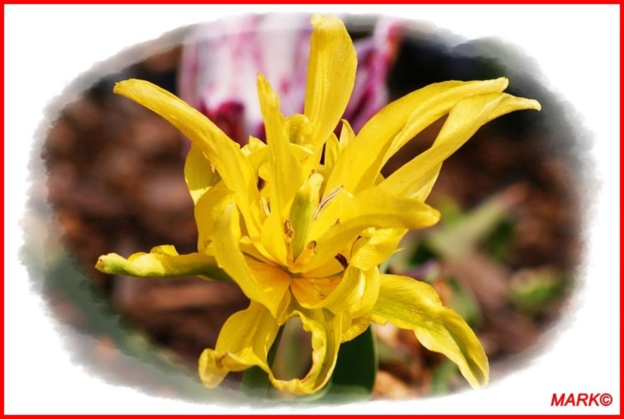 Tulipany - Blog  (8)