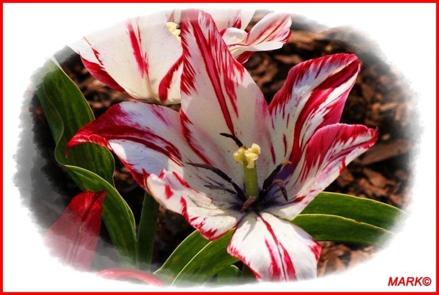 Tulipany - Blog  (9)